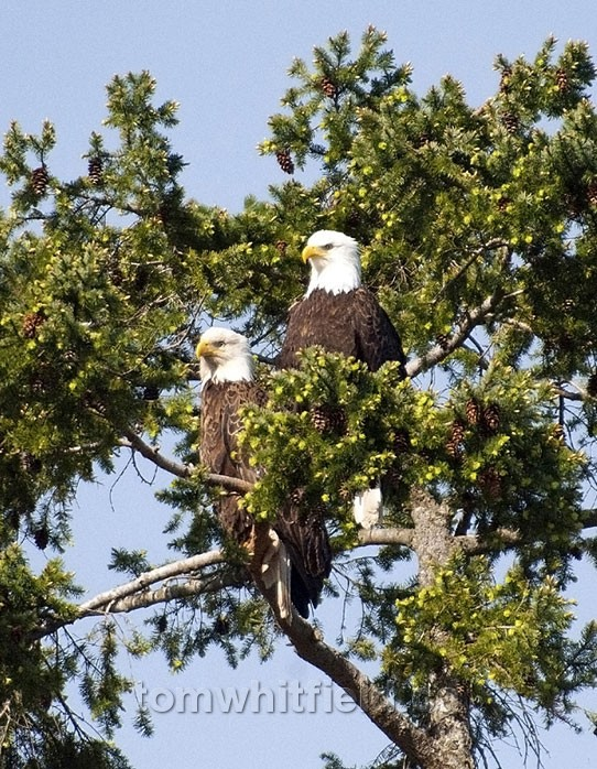 Photo of Eagles At Nuttal Bay