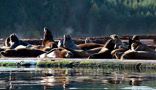 Photo of Sea lions Basking In Sun