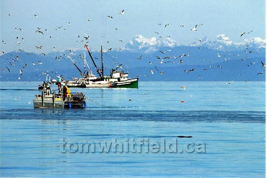 Photo of Herring Fishing Off Qualicum Beach