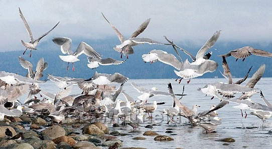 Photo of Qualicum Gulls