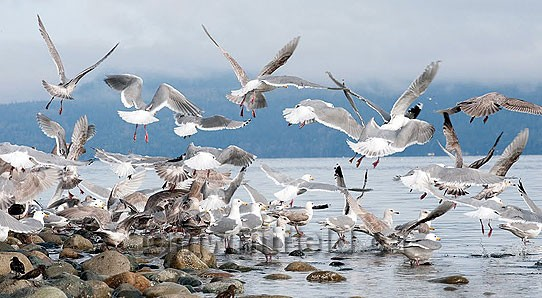 Photo of a flock of seagulls at Qualicum Beach