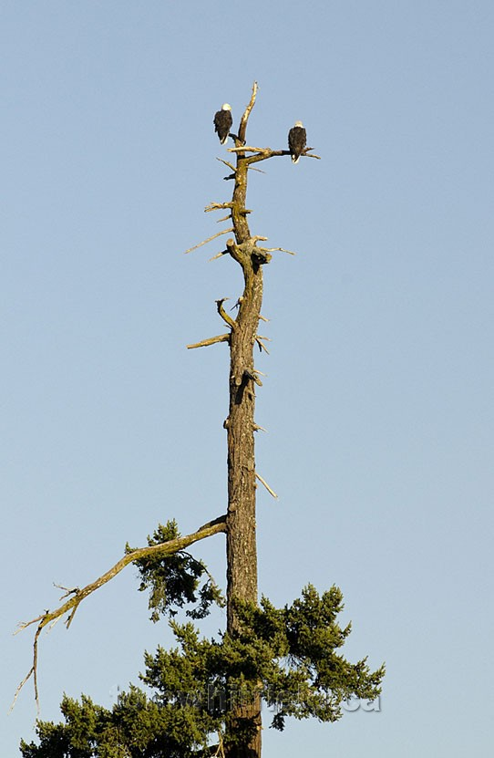 Photo of Bald Eagle Tree Perch