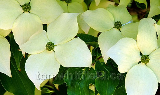 Photo of Dogwood