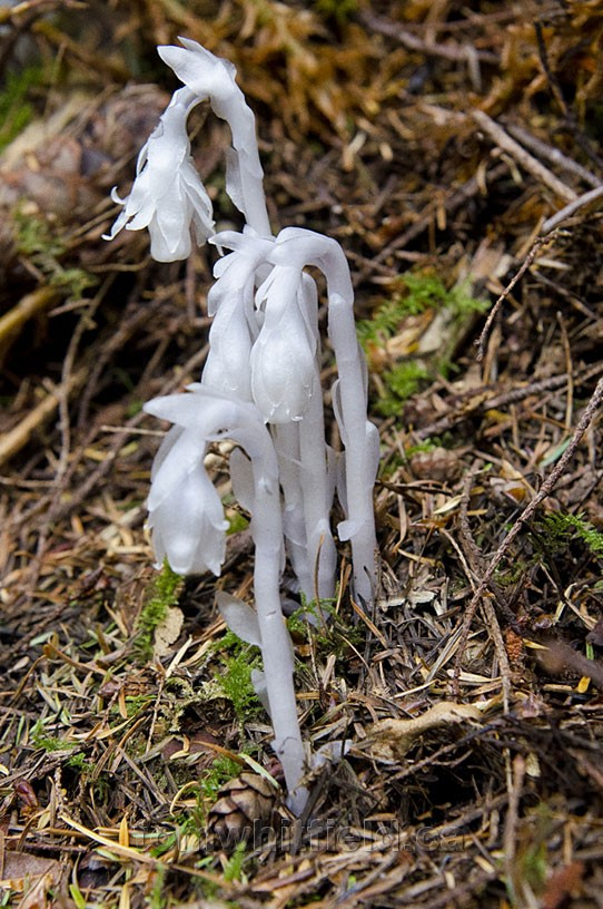 Photo of Indian Pipe